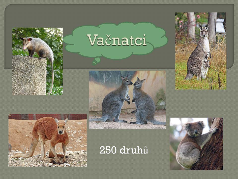 250 druh ů AUTOR NEUVEDEN. Wikipedia.cz [online]. [cit. 26.11.2012]. Dostupný na WWW: http://cs.wikipedia.org/wiki/Soubor:Red_kangaroo_-_melbourne_zoo