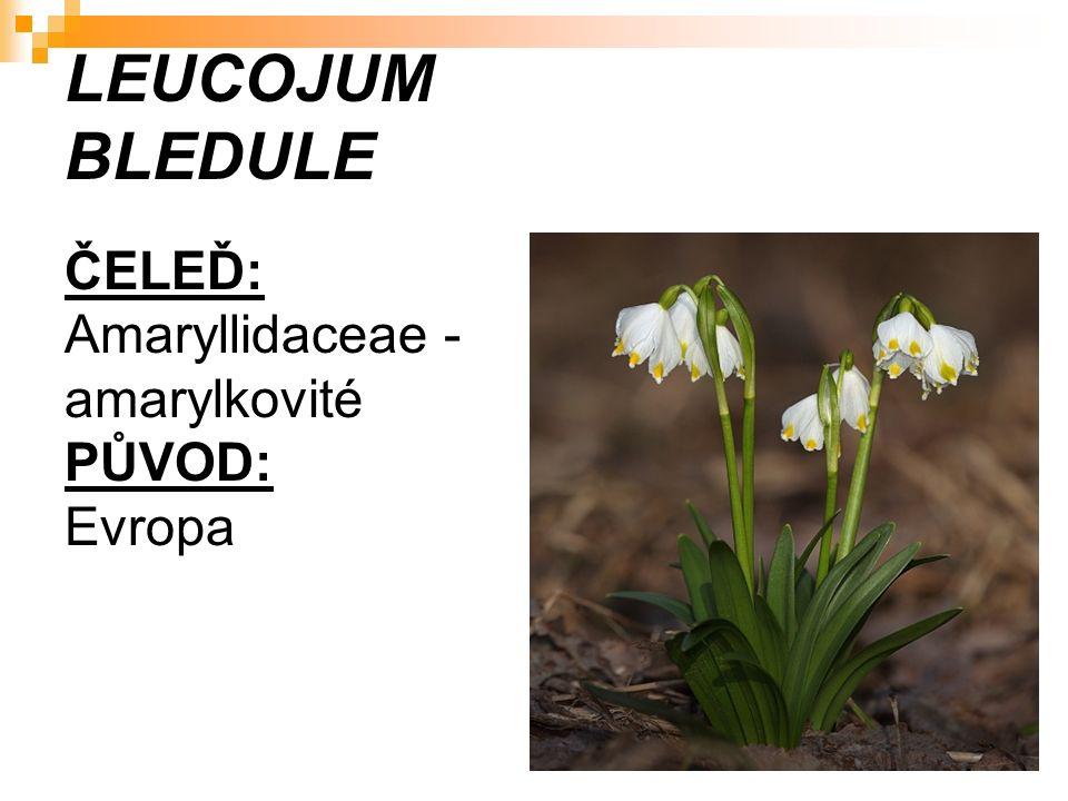 LEUCOJUM BLEDULE ČELEĎ: Amaryllidaceae - amarylkovité PŮVOD: Evropa