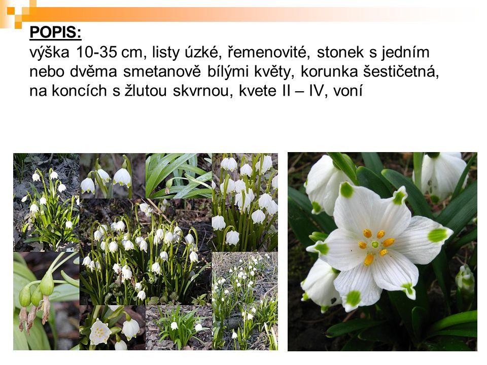 POPIS: výška 10-35 cm, listy úzké, řemenovité, stonek s jedním nebo dvěma smetanově bílými květy, korunka šestičetná, na koncích s žlutou skvrnou, kvete II – IV, voní