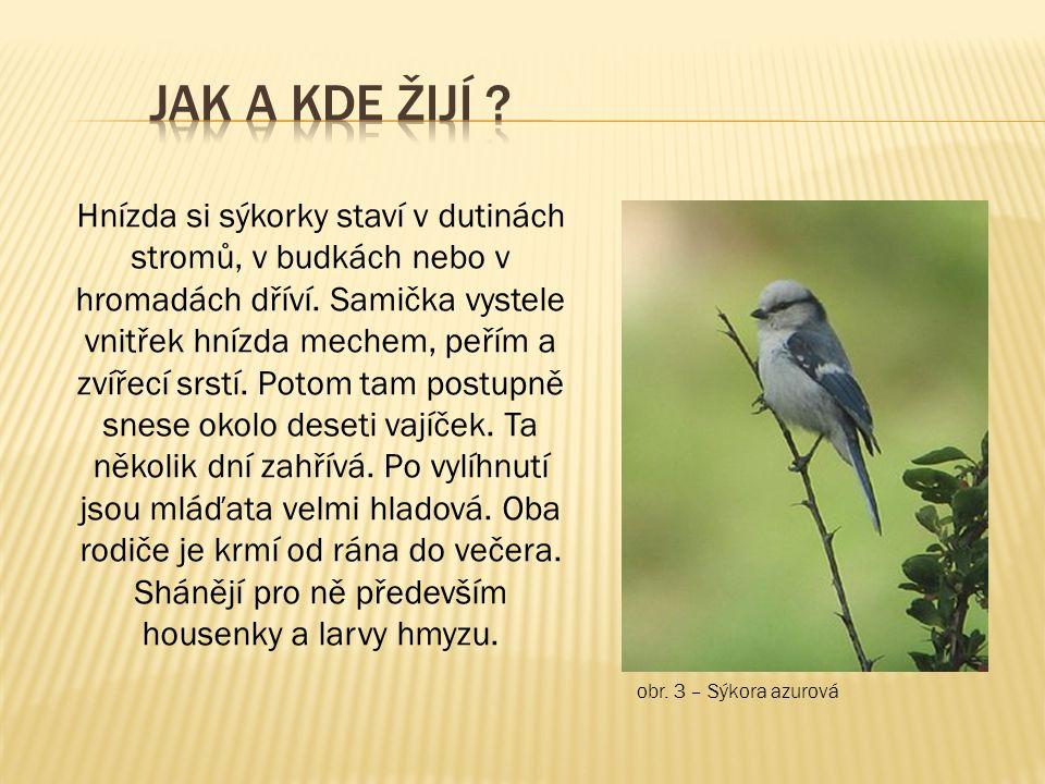 obr. 3 – Sýkora azurová Hnízda si sýkorky staví v dutinách stromů, v budkách nebo v hromadách dříví. Samička vystele vnitřek hnízda mechem, peřím a zv