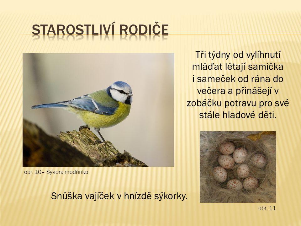 obr. 10– Sýkora modřinka obr. 11 Snůška vajíček v hnízdě sýkorky.