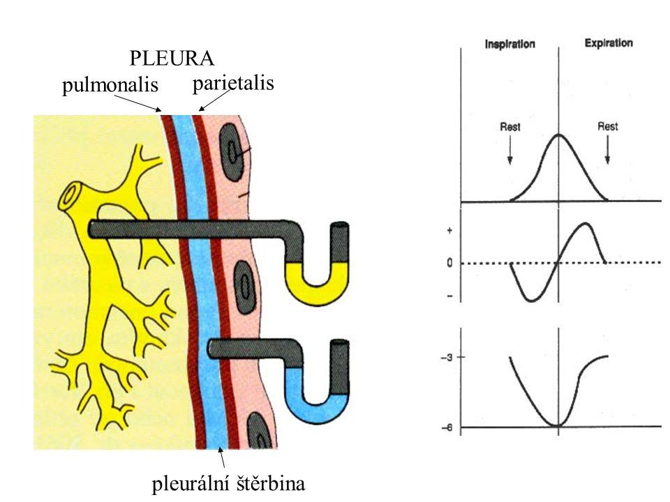 pulmonalis parietalis PLEURA pleurální štěrbina