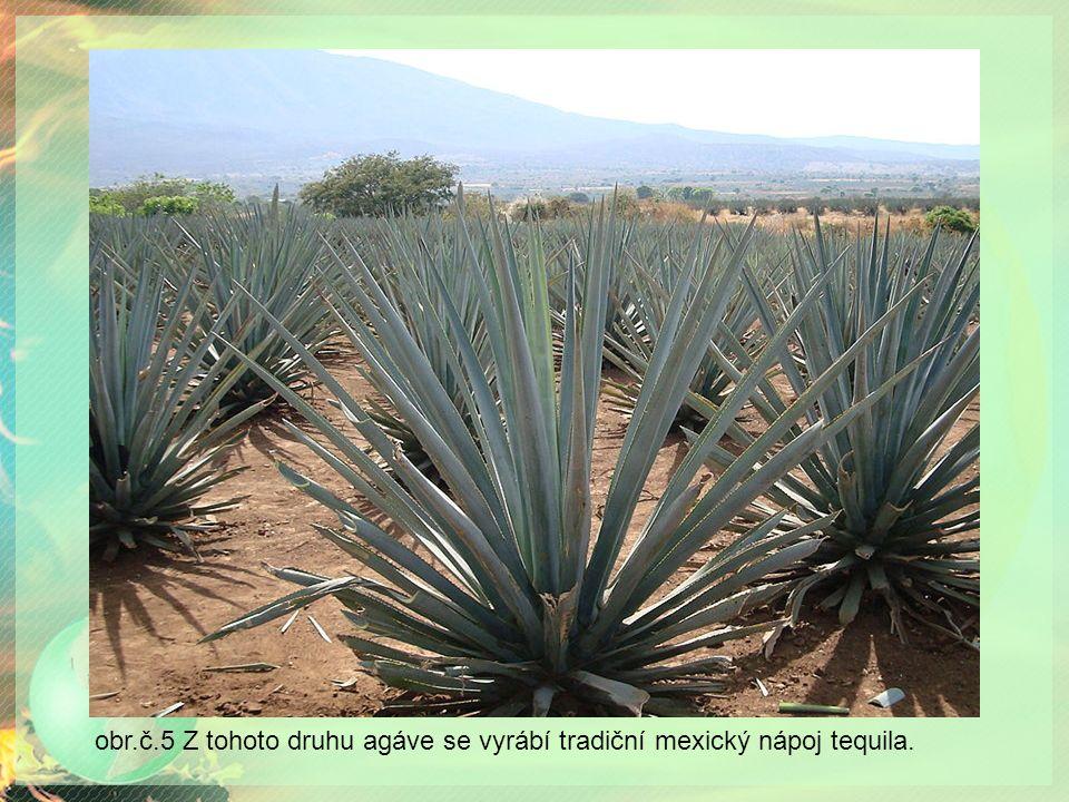 obr.č.5 Z tohoto druhu agáve se vyrábí tradiční mexický nápoj tequila.