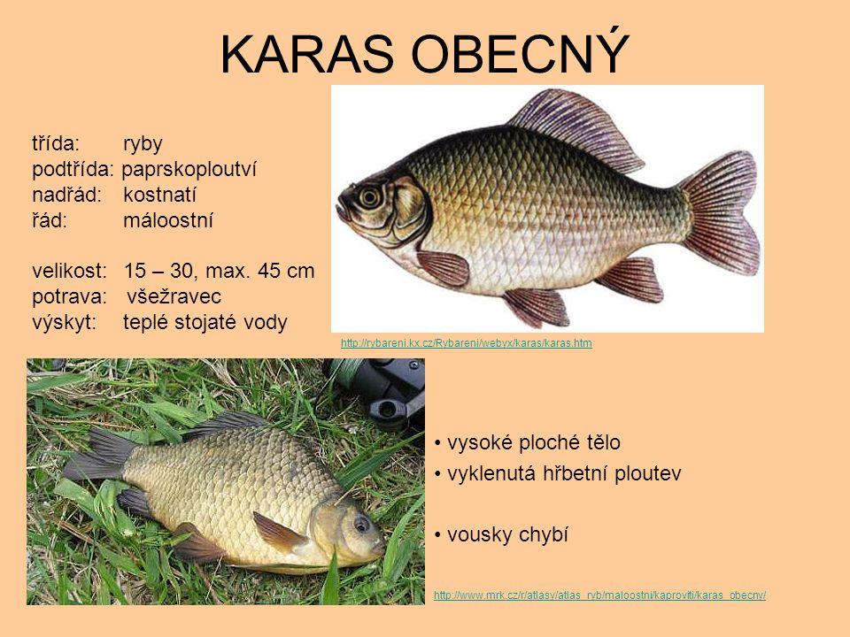 KARAS OBECNÝ vysoké ploché tělo vyklenutá hřbetní ploutev vousky chybí třída: ryby podtřída: paprskoploutví nadřád: kostnatí řád: máloostní velikost: 15 – 30, max.