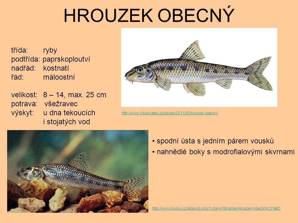 HROUZEK OBECNÝ spodní ústa s jedním párem vousků nahnědlé boky s modrofialovými skvrnami třída: ryby podtřída: paprskoploutví nadřád: kostnatí řád: máloostní velikost: 8 – 14, max.