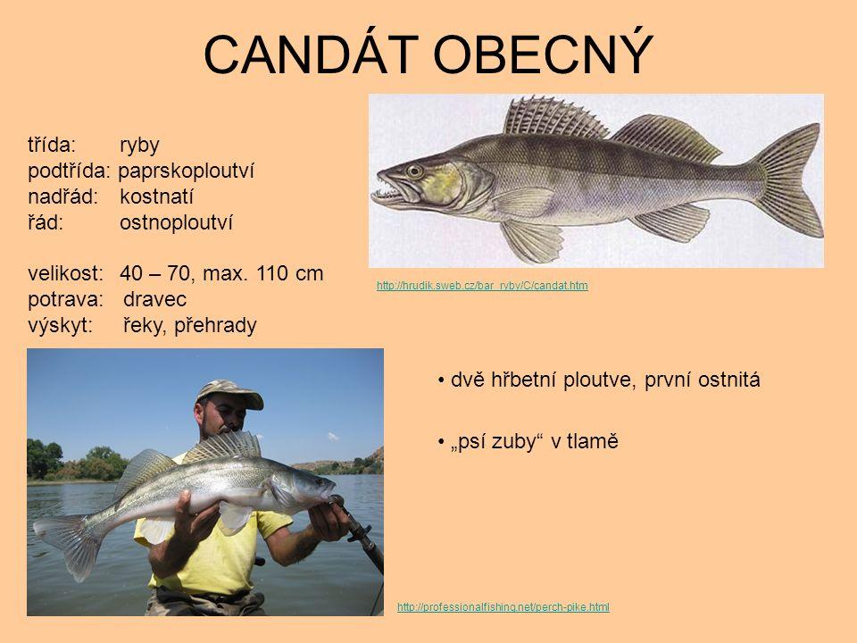 """CANDÁT OBECNÝ dvě hřbetní ploutve, první ostnitá """"psí zuby v tlamě třída: ryby podtřída: paprskoploutví nadřád: kostnatí řád: ostnoploutví velikost: 40 – 70, max."""