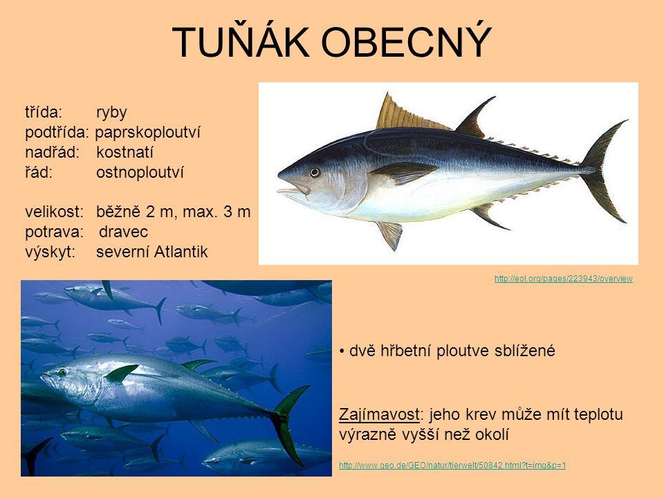 TUŇÁK OBECNÝ dvě hřbetní ploutve sblížené Zajímavost: jeho krev může mít teplotu výrazně vyšší než okolí třída: ryby podtřída: paprskoploutví nadřád: kostnatí řád: ostnoploutví velikost: běžně 2 m, max.
