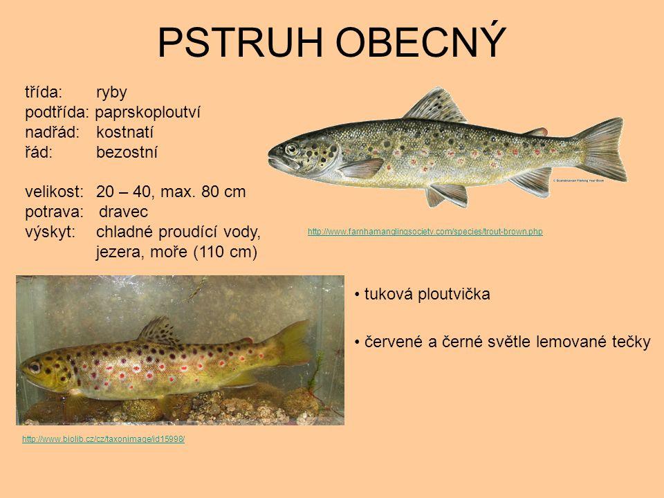 PSTRUH OBECNÝ tuková ploutvička červené a černé světle lemované tečky třída: ryby podtřída: paprskoploutví nadřád: kostnatí řád: bezostní velikost: 20 – 40, max.