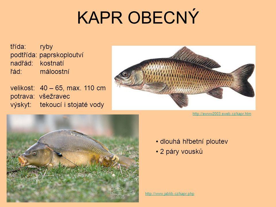 KAPR OBECNÝ dlouhá hřbetní ploutev 2 páry vousků třída: ryby podtřída: paprskoploutví nadřád: kostnatí řád: máloostní velikost: 40 – 65, max.