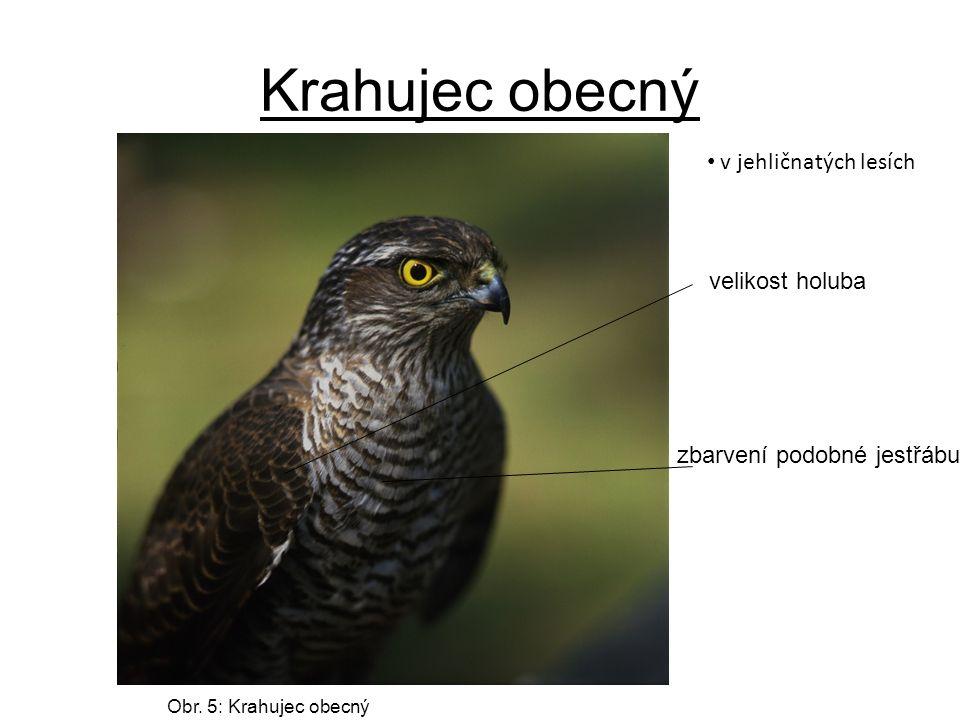 Krahujec obecný velikost holuba zbarvení podobné jestřábu Obr.