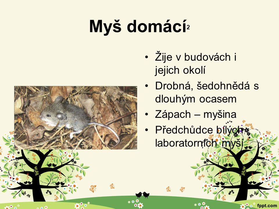 Myš domácí 2 Žije v budovách i jejich okolí Drobná, šedohnědá s dlouhým ocasem Zápach – myšina Předchůdce bílých laboratorních myší