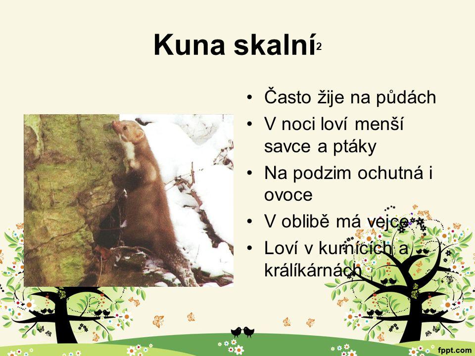 Kuna skalní 2 Často žije na půdách V noci loví menší savce a ptáky Na podzim ochutná i ovoce V oblibě má vejce Loví v kurnících a králíkárnách