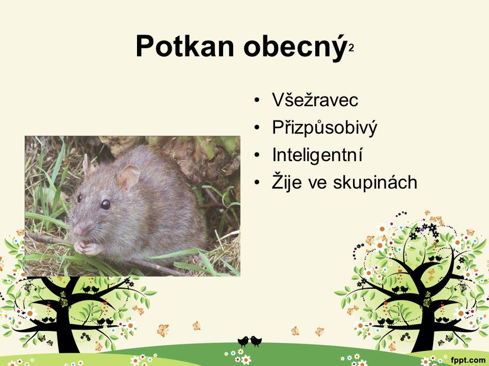 Potkan obecný 2 Všežravec Přizpůsobivý Inteligentní Žije ve skupinách