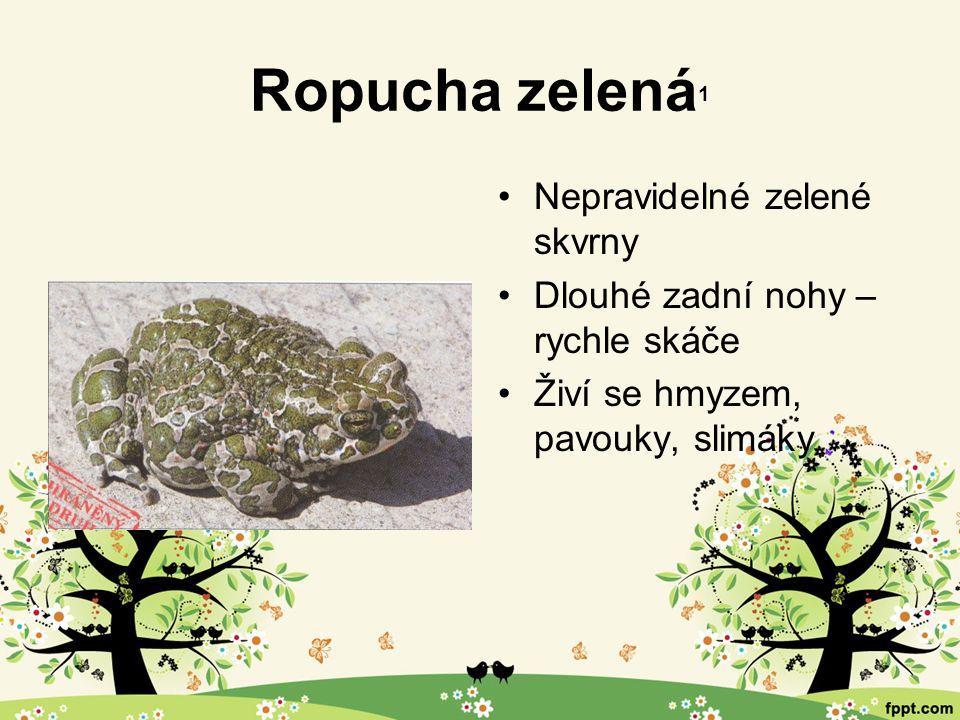 Ropucha zelená 1 Nepravidelné zelené skvrny Dlouhé zadní nohy – rychle skáče Živí se hmyzem, pavouky, slimáky