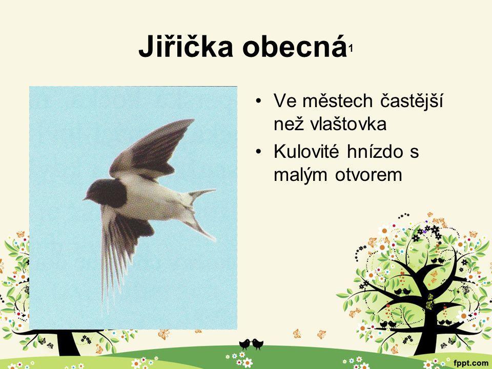 Jiřička obecná 1 Ve městech častější než vlaštovka Kulovité hnízdo s malým otvorem