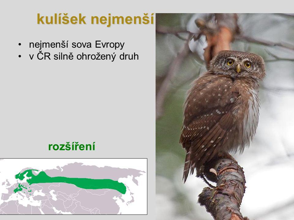 kulíšek nejmenší rozšíření nejmenší sova Evropy v ČR silně ohrožený druh