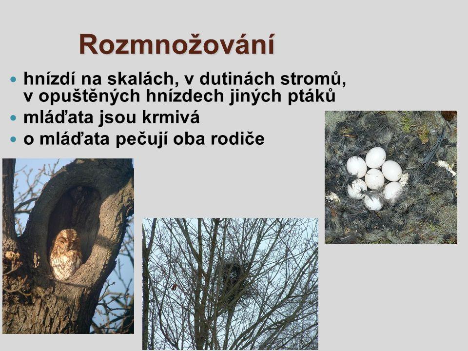 Rozmnožování hnízdí na skalách, v dutinách stromů, v opuštěných hnízdech jiných ptáků mláďata jsou krmivá o mláďata pečují oba rodiče