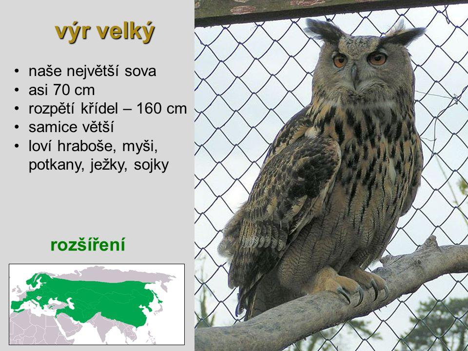 výr velký rozšíření naše největší sova asi 70 cm rozpětí křídel – 160 cm samice větší loví hraboše, myši, potkany, ježky, sojky