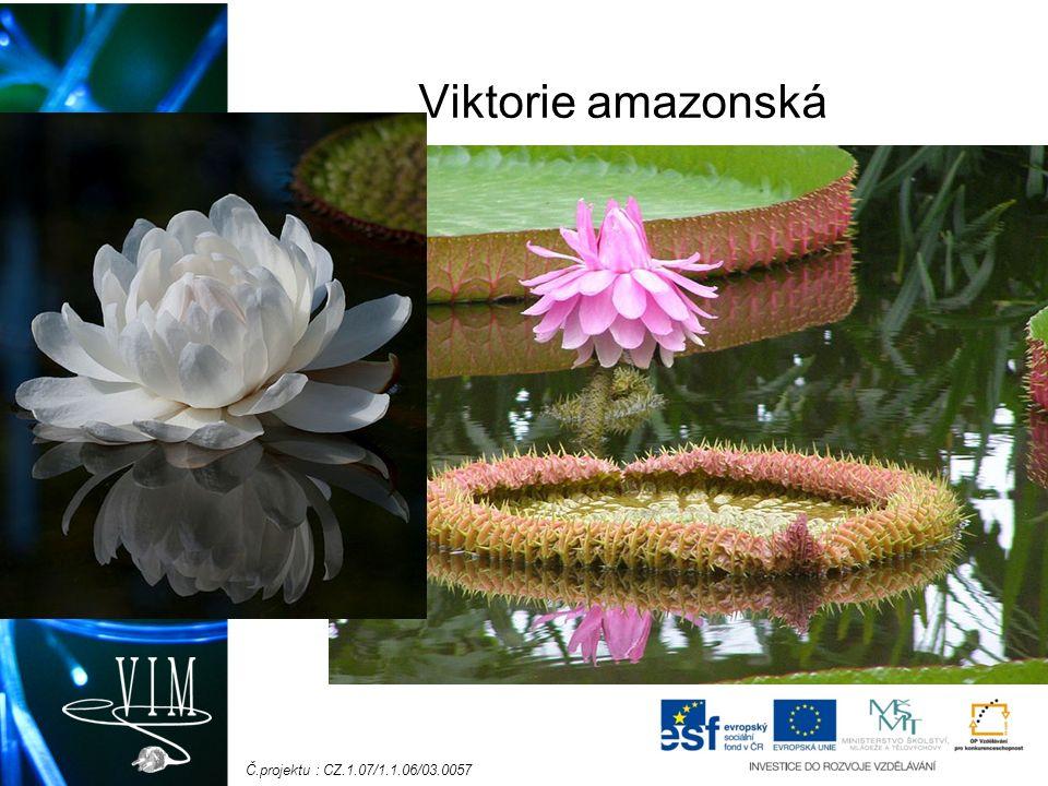 Č.projektu : CZ.1.07/1.1.06/03.0057 Viktorie amazonská