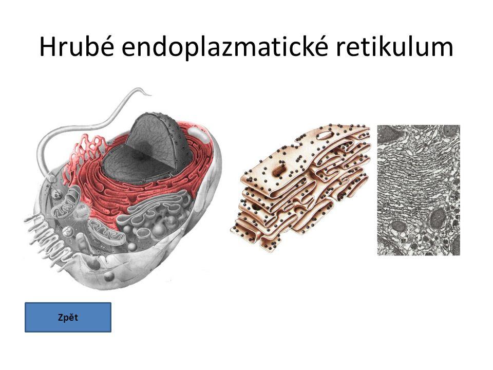 Hrubé endoplazmatické retikulum Zpět