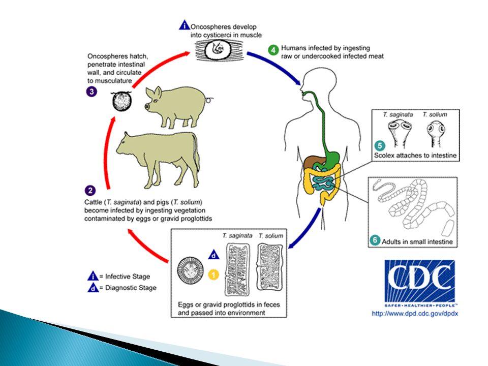 """Obrázky převzaty z CD-ROM """"Parasite-Tutor – Department of Laboratory Medicine, University of Washington, Seatle, WA"""