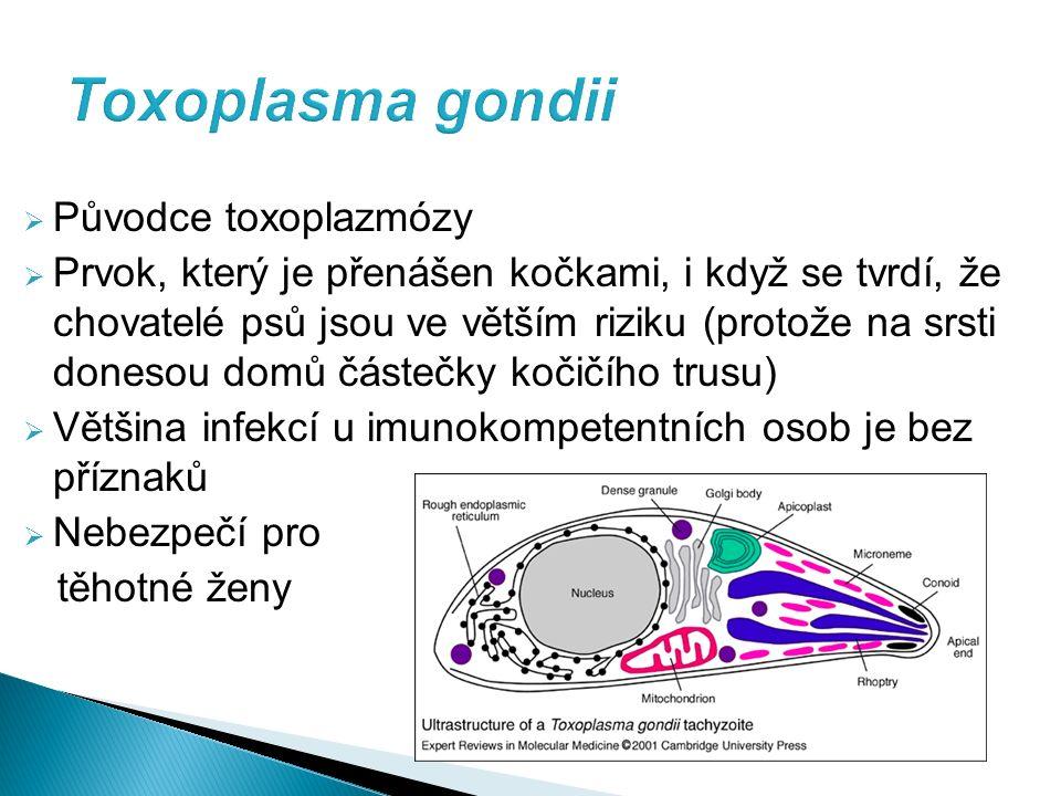  Původce toxoplazmózy  Prvok, který je přenášen kočkami, i když se tvrdí, že chovatelé psů jsou ve větším riziku (protože na srsti donesou domů částečky kočičího trusu)  Většina infekcí u imunokompetentních osob je bez příznaků  Nebezpečí pro těhotné ženy