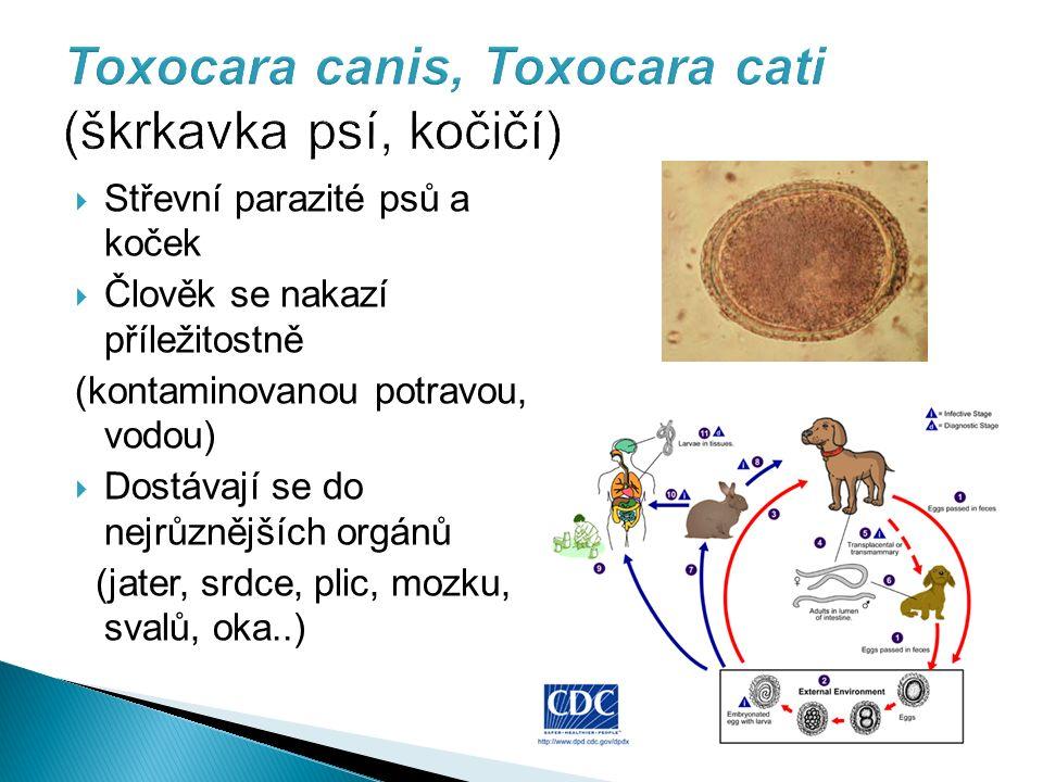 Toxocara canis, Toxocara cati (škrkavka psí, kočičí)  Střevní parazité psů a koček  Člověk se nakazí příležitostně (kontaminovanou potravou, vodou)  Dostávají se do nejrůznějších orgánů (jater, srdce, plic, mozku, svalů, oka..)