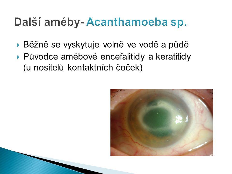  Běžně se vyskytuje volně ve vodě a půdě  Původce amébové encefalitidy a keratitidy (u nositelů kontaktních čoček)