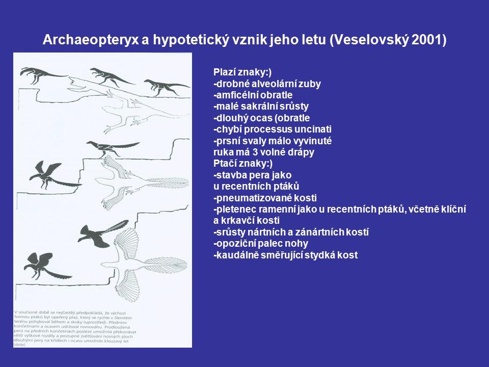 Archaeopteryx a hypotetický vznik jeho letu (Veselovský 2001) Plazí znaky:) -drobné alveolární zuby -amficélní obratle -malé sakrální srůsty -dlouhý o