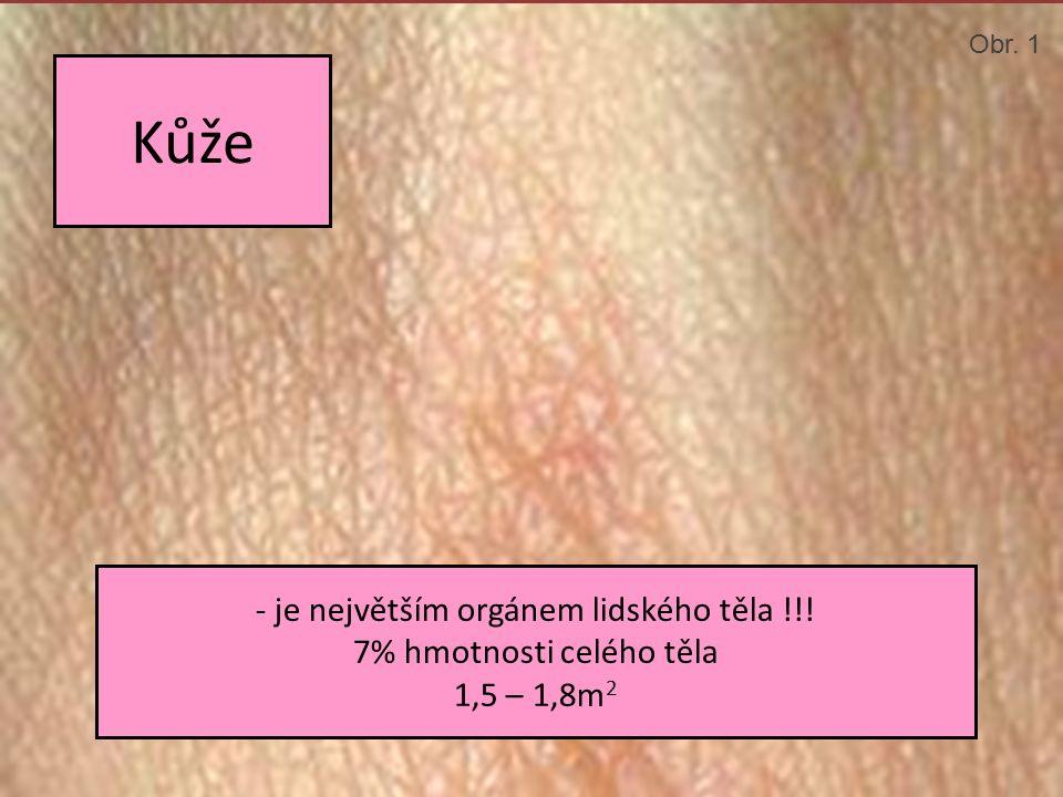 Kůže - je největším orgánem lidského těla !!! 7% hmotnosti celého těla 1,5 – 1,8m 2 Obr. 1