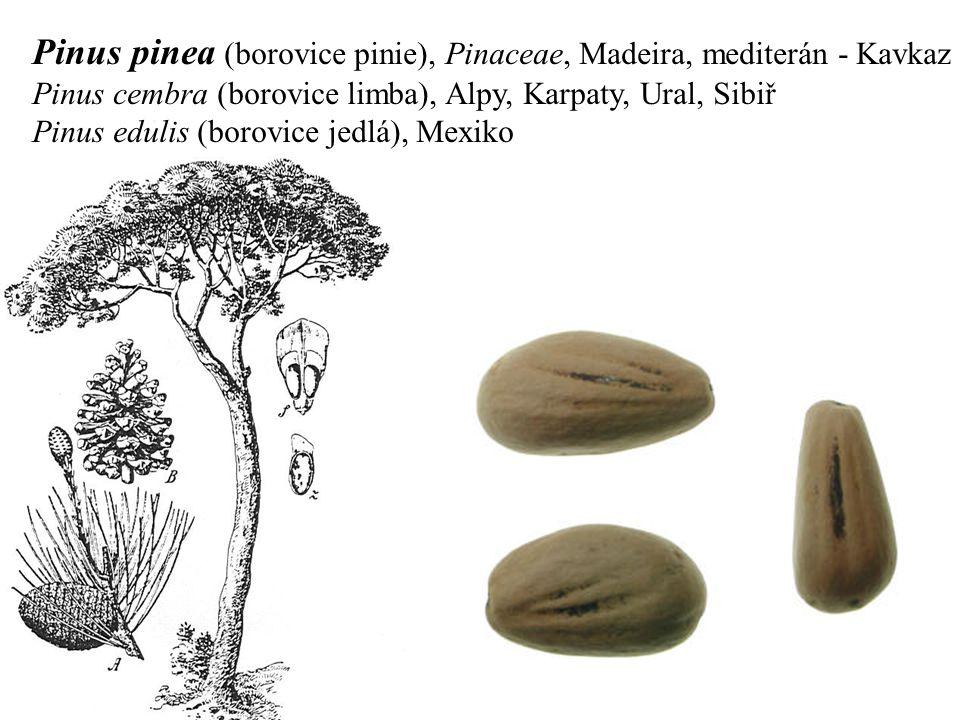 Pinus pinea (borovice pinie), Pinaceae, Madeira, mediterán - Kavkaz Pinus cembra (borovice limba), Alpy, Karpaty, Ural, Sibiř Pinus edulis (borovice jedlá), Mexiko