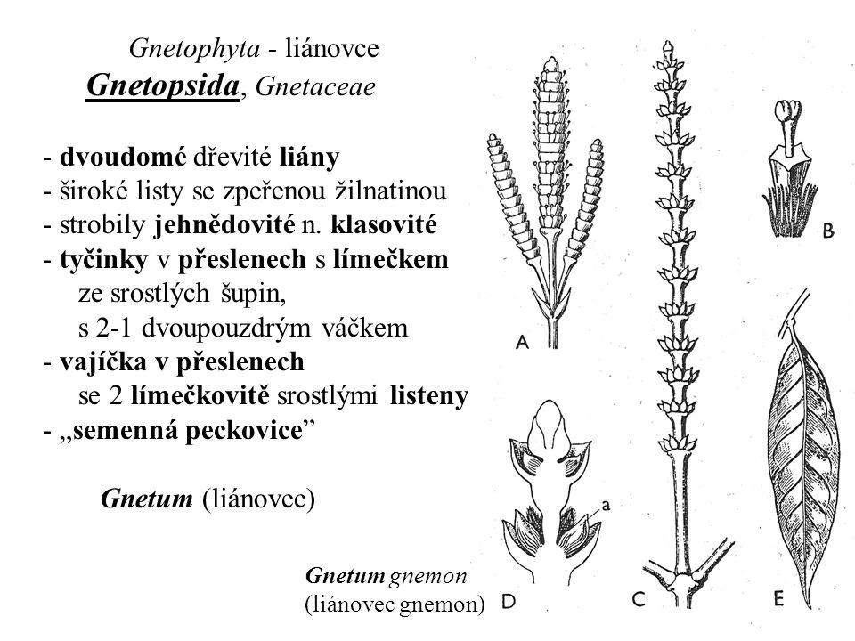 Gnetophyta - liánovce Gnetopsida, Gnetaceae - dvoudomé dřevité liány - široké listy se zpeřenou žilnatinou - strobily jehnědovité n. klasovité - tyčin