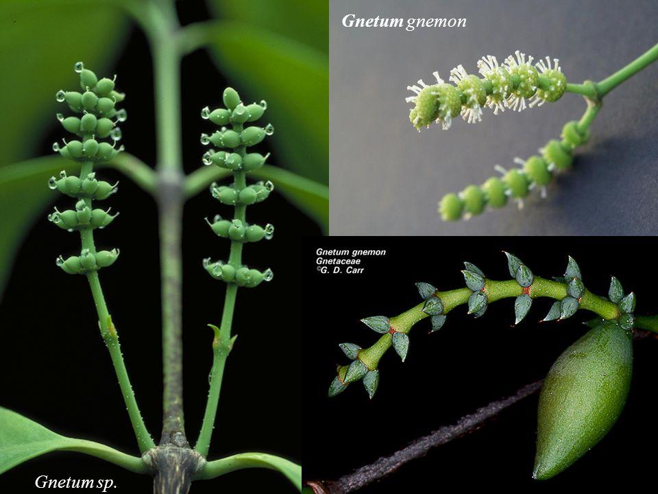 Gnetum sp. Gnetum gnemon