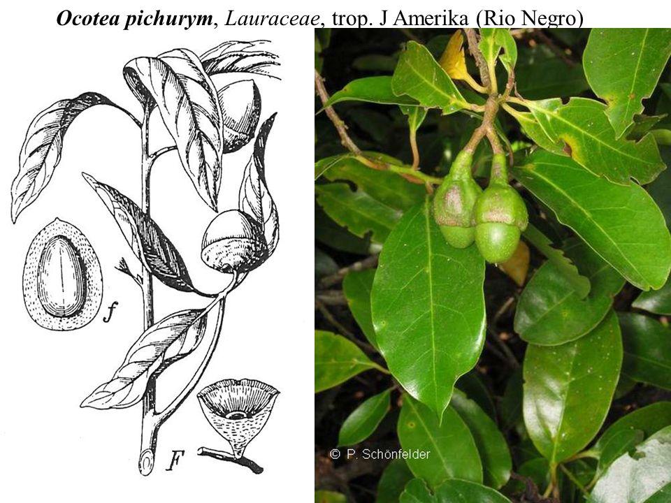 Ocotea pichurym, Lauraceae, trop. J Amerika (Rio Negro)