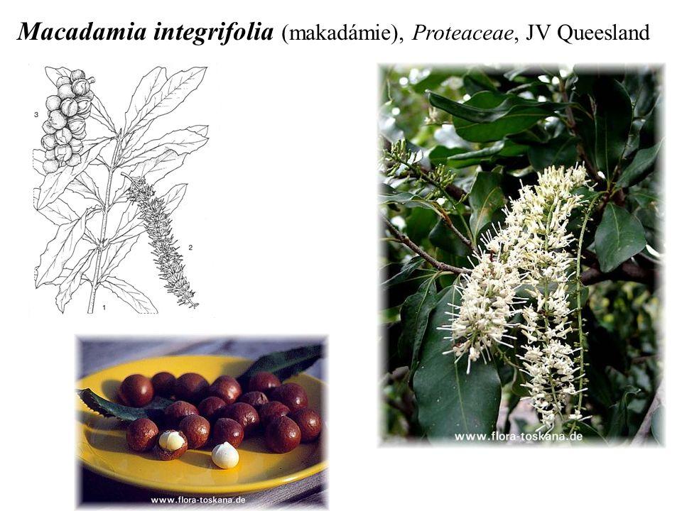 Macadamia integrifolia (makadámie), Proteaceae, JV Queesland