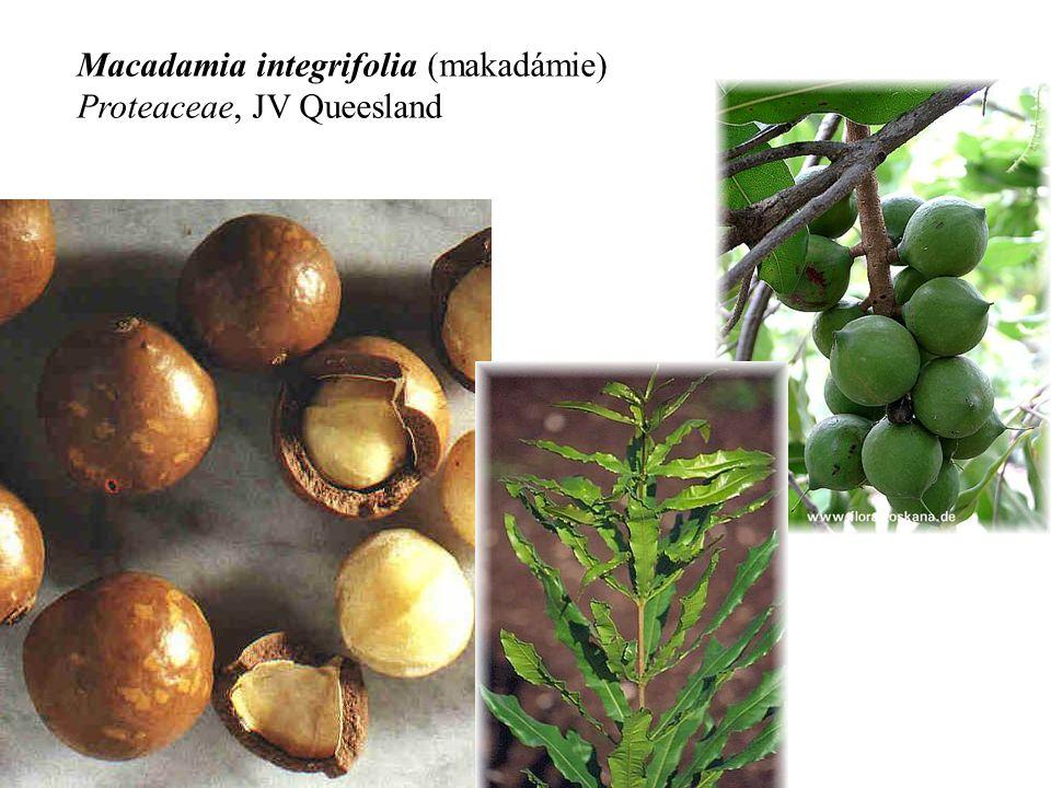 Macadamia integrifolia (makadámie) Proteaceae, JV Queesland