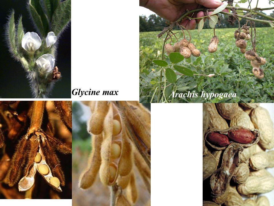 Glycine max Arachis hypogaea