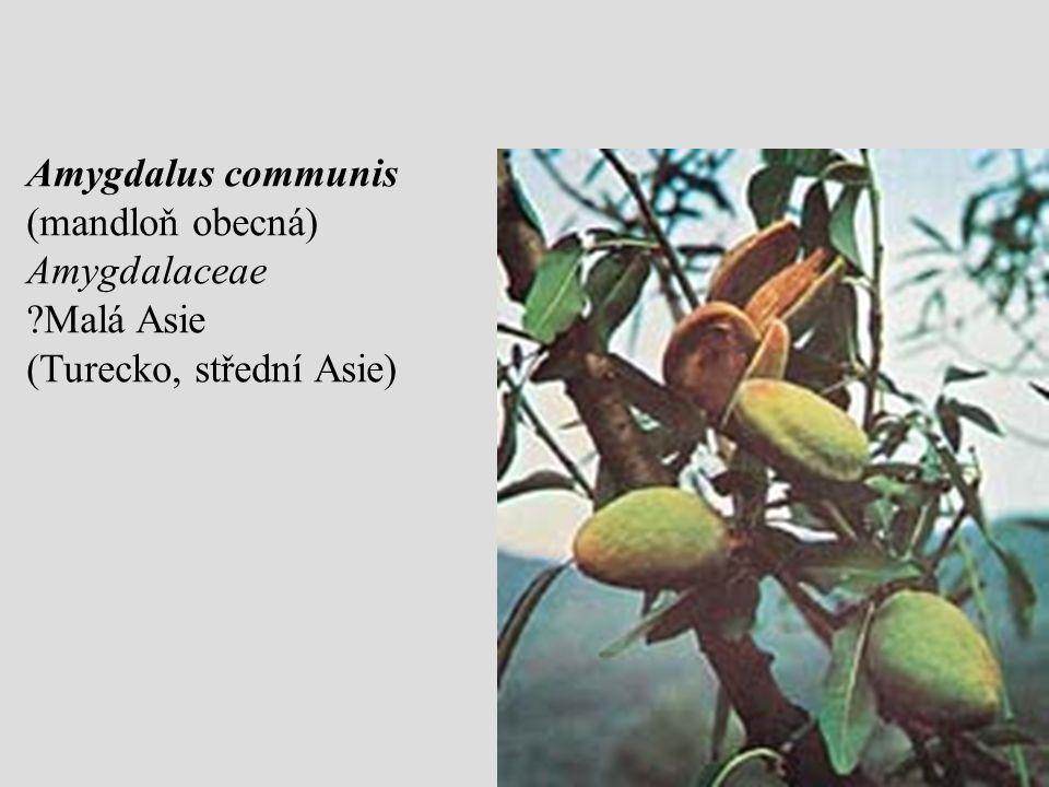 Amygdalus communis (mandloň obecná) Amygdalaceae ?Malá Asie (Turecko, střední Asie)