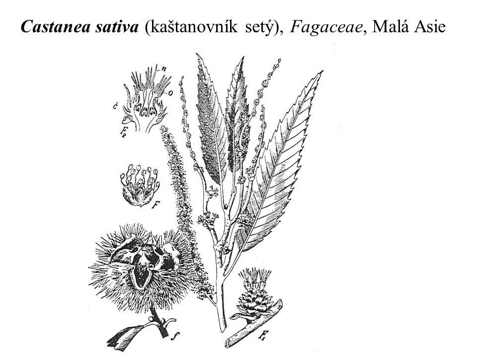 Castanea sativa (kaštanovník setý), Fagaceae, Malá Asie