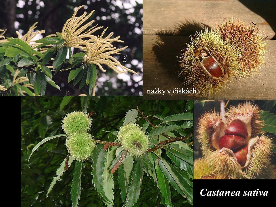 Castanea sativa ♂ ♀ nažky v číškách
