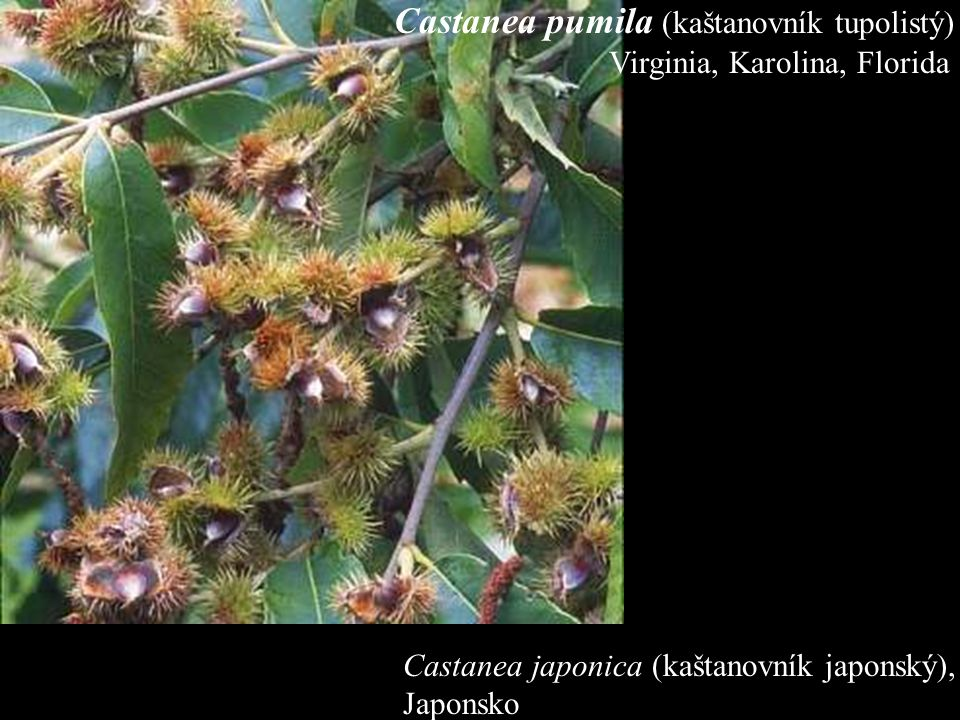 Castanea japonica (kaštanovník japonský), Japonsko Castanea pumila (kaštanovník tupolistý) Virginia, Karolina, Florida