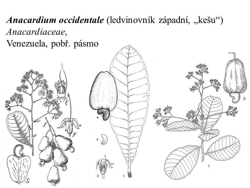 """Anacardium occidentale (ledvinovník západní, """"kešu"""") Anacardiaceae, Venezuela, pobř. pásmo Brazílie"""