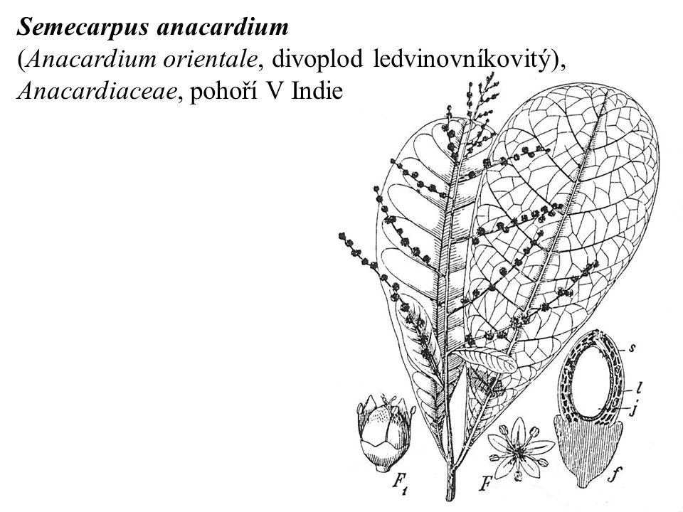 Semecarpus anacardium (Anacardium orientale, divoplod ledvinovníkovitý), Anacardiaceae, pohoří V Indie