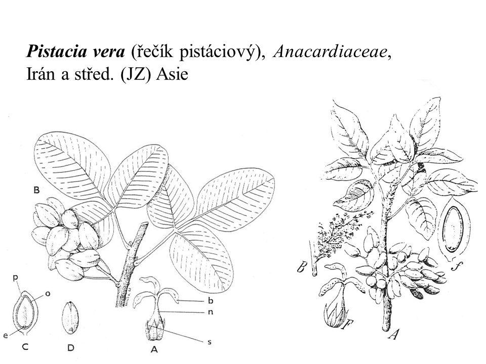 Pistacia vera (řečík pistáciový), Anacardiaceae, Irán a střed. (JZ) Asie