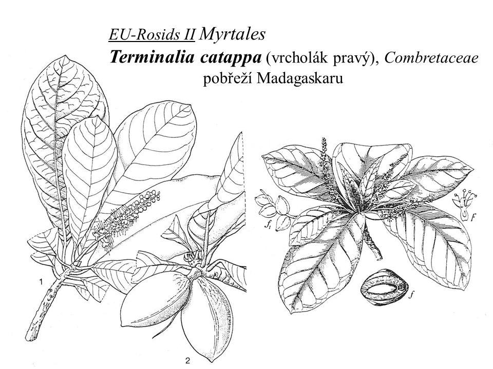 EU-Rosids II Myrtales Terminalia catappa (vrcholák pravý), Combretaceae pobřeží Madagaskaru