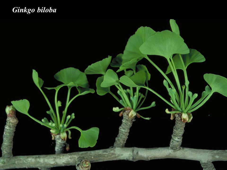 Gnetophyta - liánovce Gnetopsida, Gnetaceae - dvoudomé dřevité liány - široké listy se zpeřenou žilnatinou - strobily jehnědovité n.