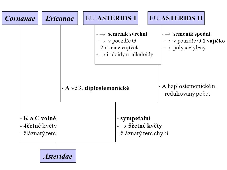 Asteridae - K a C volné - 4četné květy - žláznatý terč - sympetalní -  5četné květy - žláznatý terč chybí - A větš. diplostemonické - A haplostemonic