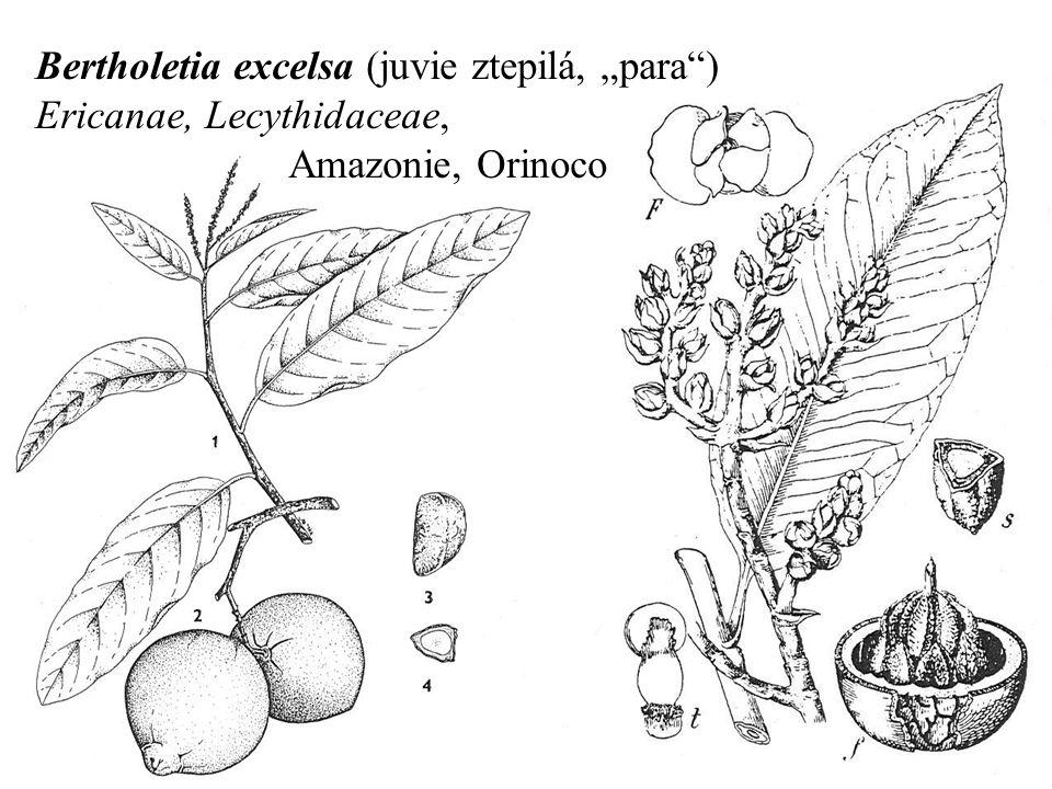 "Bertholetia excelsa (juvie ztepilá, ""para ) Ericanae, Lecythidaceae, Amazonie, Orinoco"