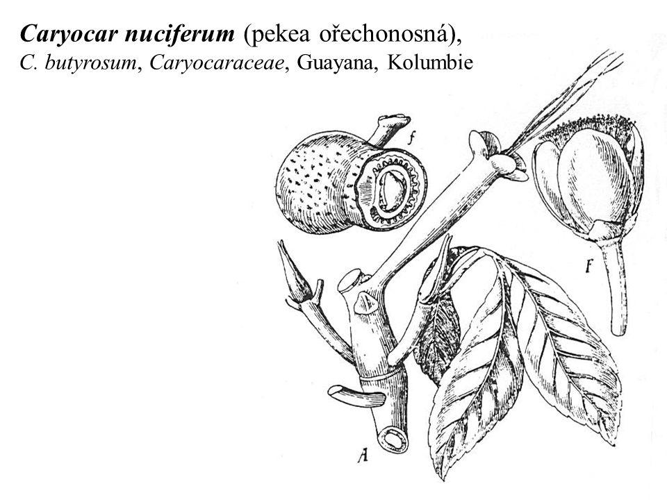 Caryocar nuciferum (pekea ořechonosná), C. butyrosum, Caryocaraceae, Guayana, Kolumbie