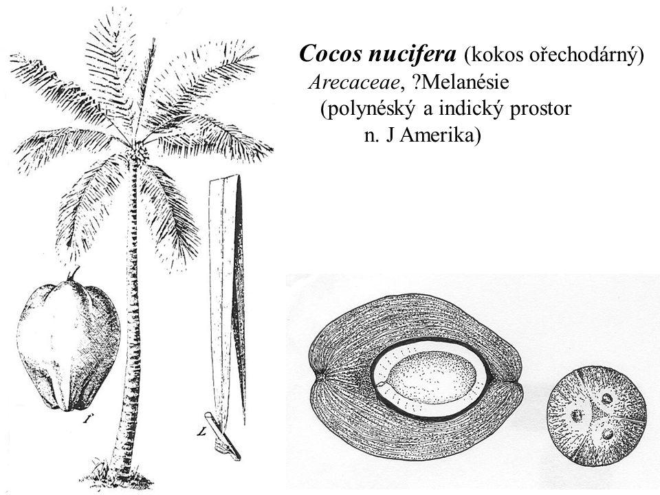 Cocos nucifera (kokos ořechodárný) Arecaceae, ?Melanésie (polynéský a indický prostor n. J Amerika)